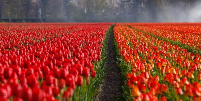 tong-hop-nhung-hinh-anh-hoa-tulip-dep-nhat (2)